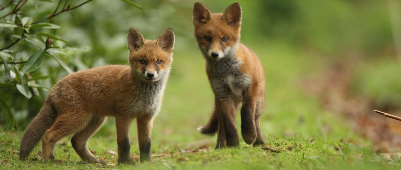 Animal,Animals,Wildlife,Vertebrate,Vertebrates,Chordate,Chordates,Mammal,Mammals,Carnivore,Carnivores,Canidae,Canid,Canids,True fox,True foxes,Vulpini,Caninae,Vulpes vulpes,Red fox,Standing,Alertness,Alert,Watchful,Watchfullness,Watchfulness,Curiosity,Curious,Curiousity,Inquisitive,Interested,Mischief,Mischievous,Mischievousness,Partnerships,Colour ,Brown,Europe,Western Europe,West Europe,UK,Britain,United Kingdom,Hertfordshire,Full Length,Full Lengths,Whole,Looking At Camera,Animal Ears,Ears,Outdoors,Open Air,Outside,Day,Daylight,Nature,Natural,Natural World,Wild,2,Color,Direct Gaze,Colours,Colors,Daytime,British,European,English,Naughty,Animal ear,Brown Colour,Alliance,Animals,Vertebrates,Chordates,Mammals,Carnivores,Canids,True foxes,Partnerships,Colours,Colors,Animal,Animals,Wildlife,Vertebrate,Vertebrates,Chordates,Mammal,Mammals,Carnivore,Carnivores,Canidae,Canid,Canids,True fox,True foxes,Vulpini,Caninae,Vulpes vulpes,Red fox,Standing,Alertness,Alert,Curiosity,Mischief,Partnerships,Colour ,Brown,Europe,Western Europe,UK,Hertfordshire,Full Length,Full Lengths,Whole,Animal Ears,Ears,Outdoors,Open Air,Outside,Day,Nature,Natural,Natural World,Wild,Direct Gaze,Colours,Colors,Brown Colour,Alliance